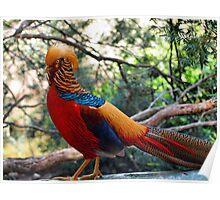 Golden Pheasant (Chrysolophus pictus) Poster