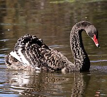 Grace and Serenity ... Black Swan by mosaicavenues