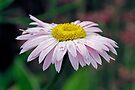 Raindrops on a Daisy by Debbie Pinard
