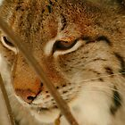 Portrait of a lynx by intensivelight