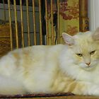 Maine Coon cat Bentley resting in chair watching by MeMeBev