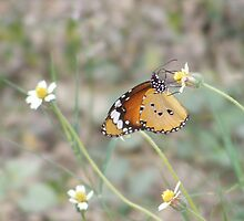 Butterfly feeding on meadow flower by pingie