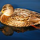 Mallard Duck 2 by Carol Clifford