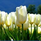 Standing Taller Than The Rest! - White Tulip Plantation - NZ by AndreaEL