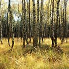 Birch forest 1 by intensivelight