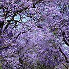 Jacaranda canopy. Johannesburg, South Africa. by Fineli