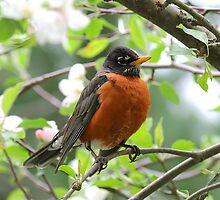 Beauty of a Male Robin by Jim Davis