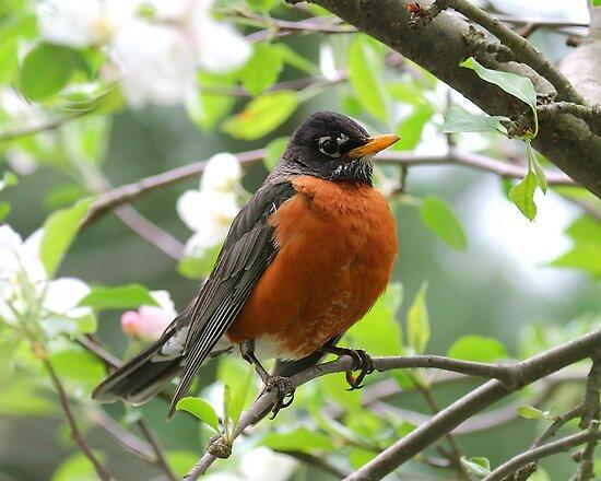 """Beauty of a Male Robin"" by Jim Davis | Redbubble"