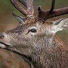 Red Deer Stag walking by... by Sarah Weston