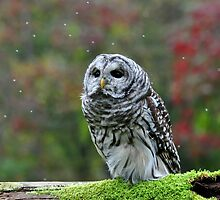 Barred Owl being Bugged by Nancy Barrett