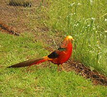 Golden Pheasant by michellerena