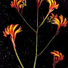 Anigozanthos flavidus ('Orange' Kangaroo Paw) flower scan by Kirsten Spry