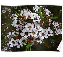 Chamelaucium uncinatum, Geraldton Wax Poster