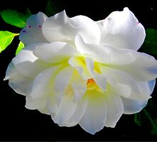 White Rose by Henry Murray