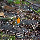 Robin by Trevor Kersley