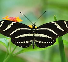 Zebra Longwing by Janice McCafferty