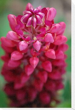 Pink Lupin by Matthew Folley