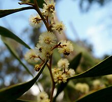 Wattle in flower by owuro