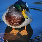 Mr. Mallard Duck... by Carol Clifford
