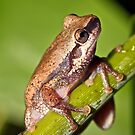 Desert Tree Frog (Litoria rubella), South East Queensland, Australia by RosieRuffles