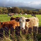 Cows of Llanfairfechan by Michael Haslam