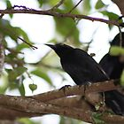 black bird by pezore