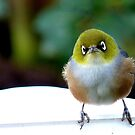 Little boy lost! - Silvereye - Wax Eye - New Zealand by AndreaEL