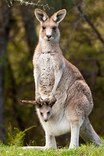 Kangaroo with Joey by Blue Gum Pictures
