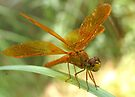 Dragonfly ~ Mexican Amberwing (Male) by Kimberly Chadwick
