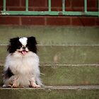 Japanese Chin by Helen Green