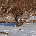great grey owl by jamesmcdonald