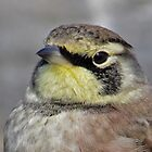 horned lark by jamesmcdonald