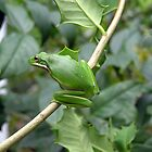 Green Tree Frog by CarolD