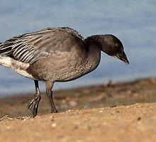 Lesser Snow Goose / Juvenile Dark Morph by Gary Fairhead