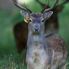 Fallow Deer stag watching during the Rut by Sarah Weston