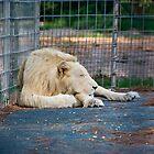 White Lion - Zoo Arcachon by Melanie PATRICK