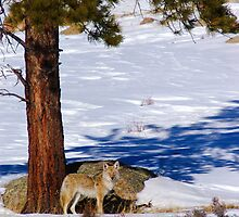 Winter Coyote by John  De Bord Photography