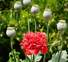 Opium Poppy in Flower by Rob Moffatt