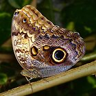 Owl Butterfly by Usha Ganesh