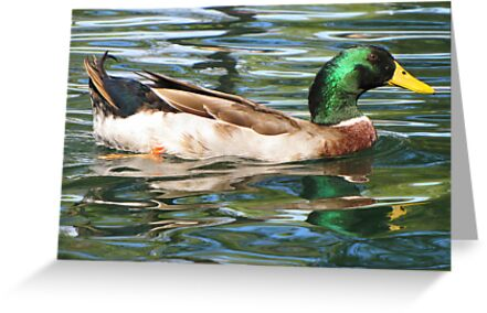 Mallard Duck ~ Drake by Kimberly Chadwick