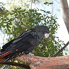 Queensland Black Cockatoo by Cathie Trimble