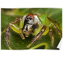 Male Green Jumping Spider Poster
