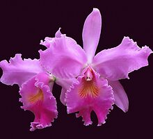 Orchids by Usha Ganesh