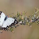 Caper White Butterfly by Robert Jenner