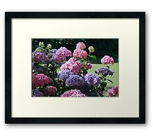 Hydrangea - The Gorge Launceston Framed Print