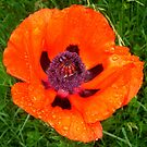 Poppy with morning dew  by ©The Creative  Minds