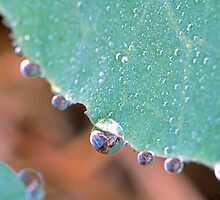 Cabbage Dew Drops by Bill Spengler