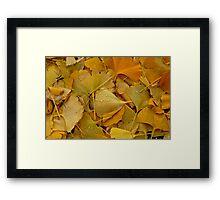 Fallen Ginkgo tree leaves . Framed Print