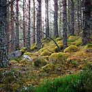 Rothiemurchus Forest by Christopher Thomson