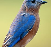 Bluebird at Dusk by Bonnie T.  Barry